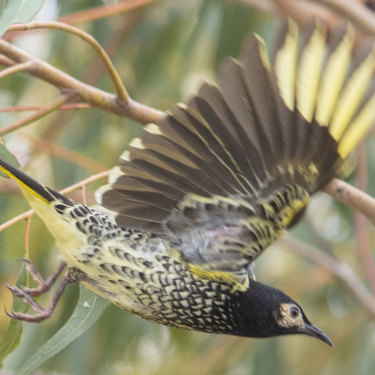 The regent honeyeater photographed by Campbell Paine, just the fourth sighting of the bird in that area in 150 years.