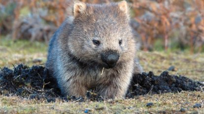 Inquiry launched into wombat hunting by Chinese high rollers