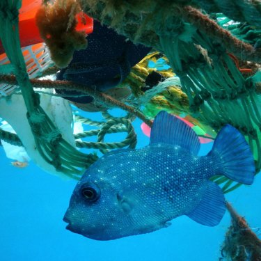 A trigger fish in a sea of plastic.