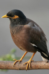 The common myna.