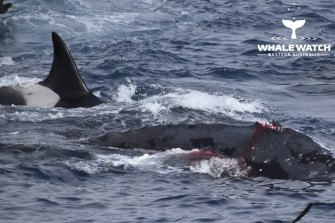The humpback lost his dorsal fin in the attack.
