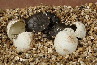 The babies will be monitored closely before being moved into a nursery of specialised tanks.