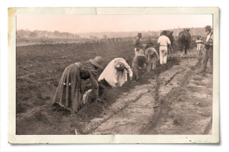 South Sea Islander women planting sugar cane by hand at Bingera, Queensland, about 1897.