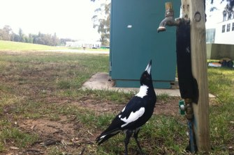 A heat-stressed Canberra magpie tries to catch a drink from a dripping tap.