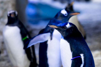 "A same-sex penguin couple is raising a ""genderless"" chick (pictured with a gender-neutral purple tag) at the London Aquarium,"