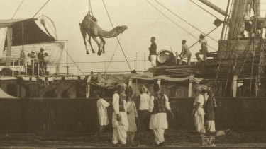 A camel is unloaded in Port Augusta in the last decade of the 19th century.