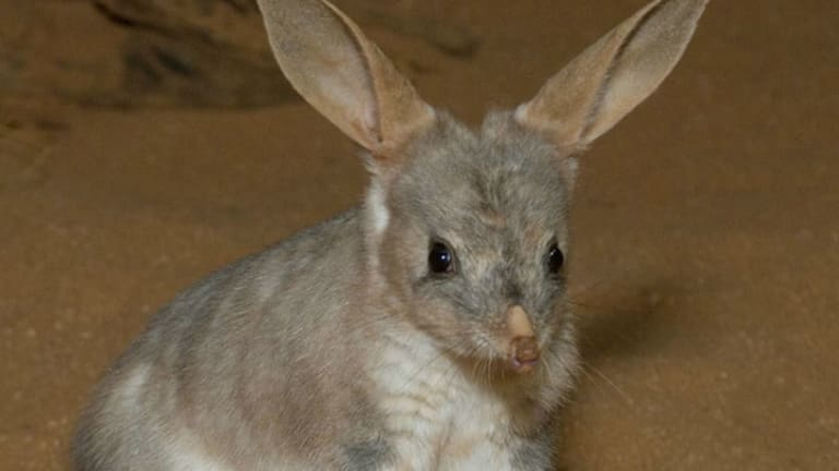 In the wild there are about 600 bilbies around Charleville in poor seasons.