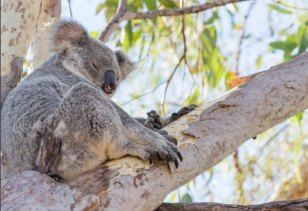 Queensland has released its five-year strategy to protect koalas across the state.