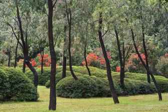 Black-trunked Eucalyptus sideroxylon rising out of mounds of privet.