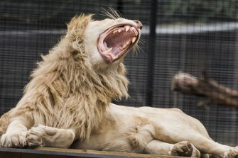 One of the lions at Shoalhaven Zoo, where a zookeeper has been attacked.