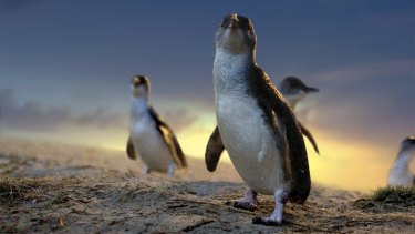 Little penguins on parade at Phillip Island.