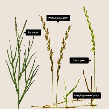 Allergenic grasses.