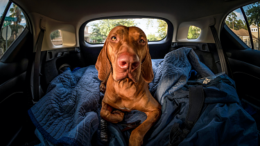 Use expert tactics to settle your dog in the car.