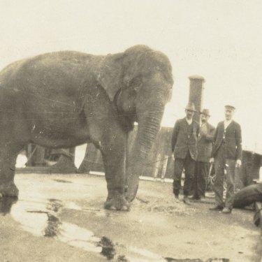 Jessie the elephant en route to Taronga Zoo in 1916.