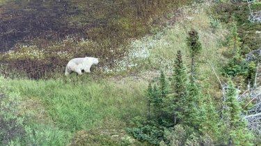 A polar bear encountered during the manhunt in northern Manitoba.