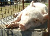A pig described in a Senate submission as gasping for air.