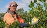 Gun citrus picker Ricky Barry in action at Colignan, Victoria.