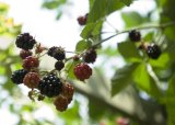 Blackberries: Drones will hunt down the noxious weed in national parks.