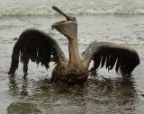 Beyond Petroleum: A pelican mired in oil from BP's Gulf of Mexico spill.