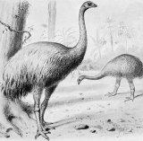 A giant moa, an extinct New Zealand bird.