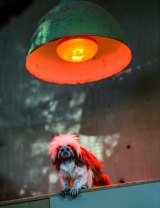A cotton-top tamarin finds refuge from the cold under heat lamps at Melbourne Zoo.