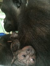The newborn gorilla.