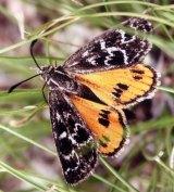 The golden sun moth has habitats in pockets of Yarralumla.