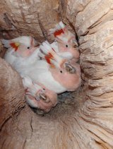 Major Mitchell's Cockatoos in a hollow.