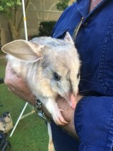 Bilbies like Tashi are at risk from predators such as foxes and feral cats, and have to compete with rabbits for food and burrows.
