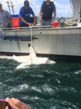 DPI researchers tagged and released all five sharks caught by nets and SMART drumlines along the NSW mid-north coast.