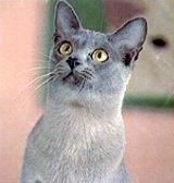 """Gold-eyed annd sleek, the """"noble"""" Burmese cat will rule again."""