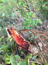The bloody tree stump (which they call the rhino horn) which skewered 16-year-old Solomon Lee's leg.