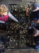 The crew at XL Oysters sorts through the harvest.