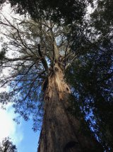 Ada, the largest tree in Victoria.