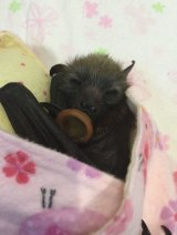 An orphaned bat wrapped in a Cuddlebat.
