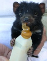 A Tasmanian devil joey being nursed back to health. Her mother was killed by a car and she was found in the pouch.