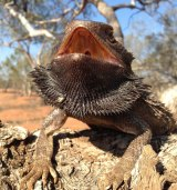 The Australian bearded dragon.