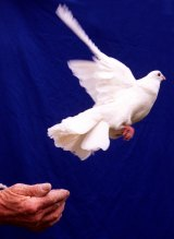 pigeon;afr sat;980805;photo:jessica hromas generic- communications, telstra, pigeon, peace.  (first use afr)