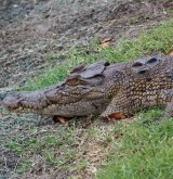 The club said this crocodile held up play in January.