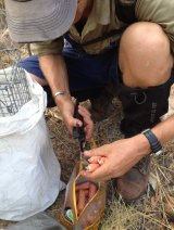 Cane-toad sausages being deployed in the Kimberley Ranges.