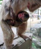 A baby monkey born at Mount Takasaki Wild Monkey Park in Oita, western Japan.