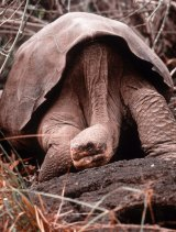 Lonesome George, pictured on the Galapagos island of Pinta in 1985.