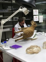 Sheldon Teare, natural sciences conservator at the Australian Museum working on a thylacine specimen.