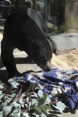 Arataki, a sun bear, sorts out her bedding at Jamala Lodge.
