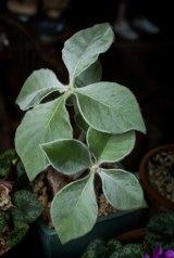 A Brazilian Edelweiss or Sinningia Leucotricha.