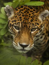 "Jaguars are classified as a ""threatened"" species, with potential for them to become extinct."