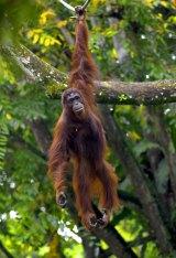 Palm oil production threatens orangutan habitats.