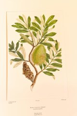 The familiar Banksia intergrifolia, or coast banksia, was among the specimens sketched by Sydney Parkinson.
