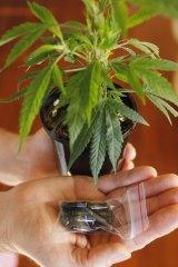 Many Australians already use cannabis medicinally, albeit illegally, especially for chronic pain.