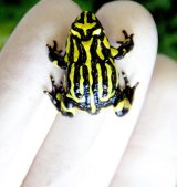 An adult southern corroboree frog.